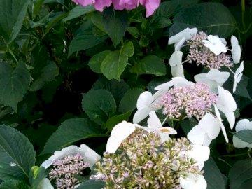 Hortensje - krzewy hortensji w Ogrodzie Botanicznym