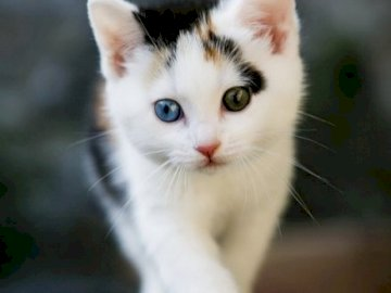sweet kitty - sweet black and white kitty with lovely eyes.