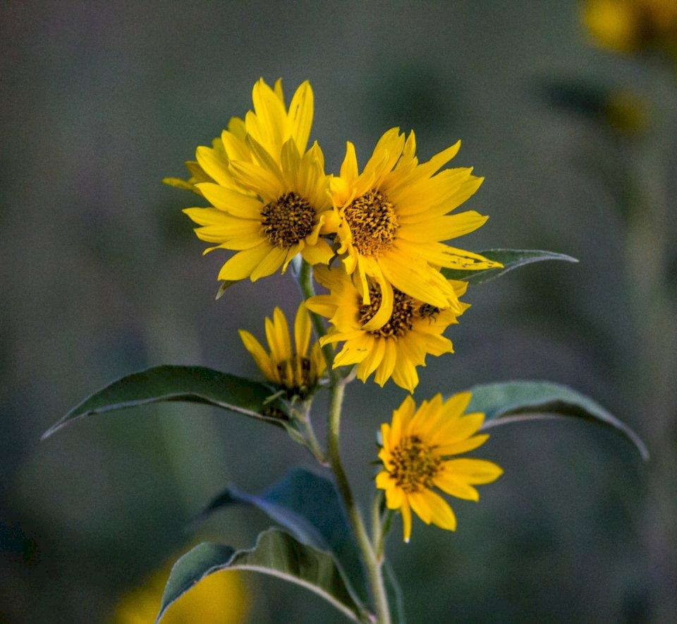 Een cluster van nep-zonnebloemen - Ondiepe focus foto van gele bloemen. Nebraska (10×10)