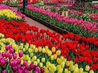 Tulipány, tulipány a zase tulipány - Tulipány, tulipány a zase tulipány