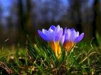 Fleur  - A venit primăvara. Floare. Flori de primăvară în luncă.