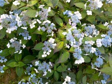 Hortensje - kwitnące krzewy w ogrodzie botanicznym