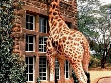 Animal: jirafa. - Puzzle. Animales.