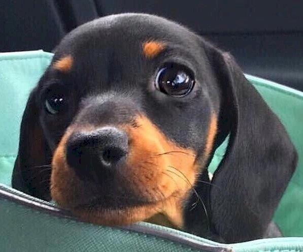 Γλυκό σκυλί - Πολύ χαριτωμένο dachshund 1