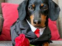 Cute dachshund 2 - My beautiful lover, you think of me, it's so nice!