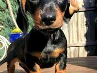 Cute dachshund1 - My too beautiful, you are funny with your ears folded!