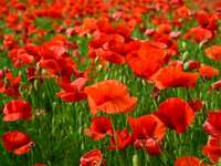 Annalisa - Poppy: typical field plant also present in Salento