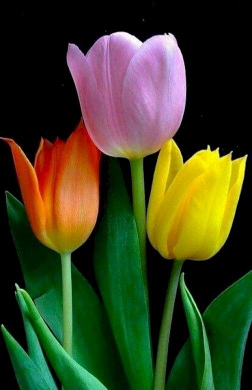 Bloeiende plant, bloemblad, tulp