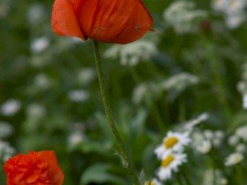Polne maki - kwiaty na łące  ===========