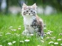Kitty pe iarbă - Kitty pe iarbă. Pisoi în luncă. Pisoiul aleargă pe iarbă. Pisoiul meu aleargă pe luncă.