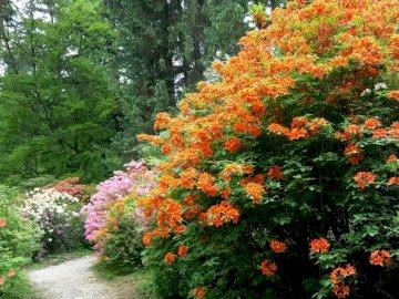 Rododendrony - arboretum w Rogowie ---------