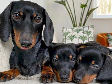 Μαμά και η νέα της - Η μαμά Dachshund με δύο παιδιά