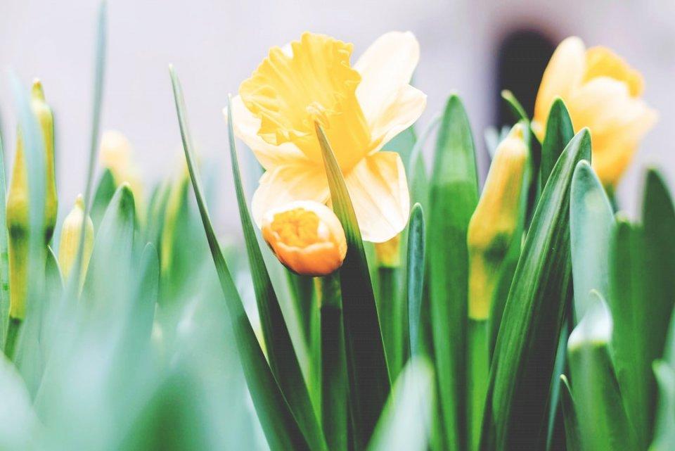 Virágzó nárcisz kirakós játék