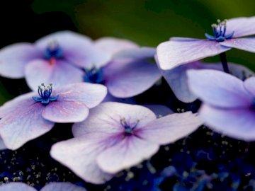 Fioletowa hortensja z bliska - Białe i fioletowe kwiaty w płytkiej ostrości.