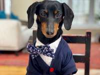 Dachshund in suit - He is beautiful and elegant with this blue suit