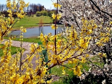 wiosnawogrodzie - forsythia, a blossoming apple tree. Garden view