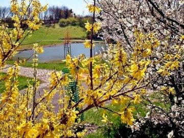 wiosnawogrodzie - forsycja, kwitnąca jabłoń. Widok ogrodu