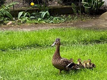 Canard aux canetons - Canard aux canetons en promenade.