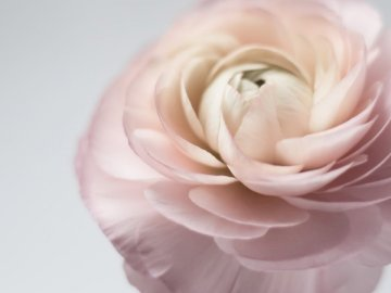 Pink Ranunculus - Shallow focus photography of white-and-pink petaled flower. Switzerland