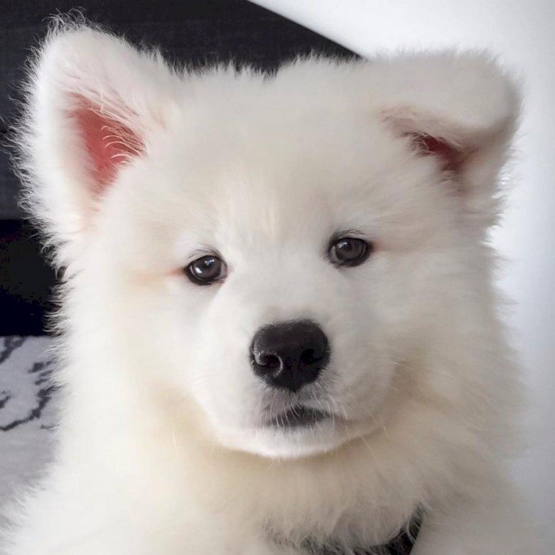 Câine dulce