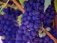 Przyszłe wino na winorośli