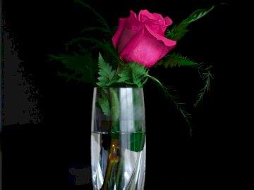 Kwitnący kwiat w wodzie - Różowa róża w wazonie z przezroczystego szkła. Środkowy Zachód, USA