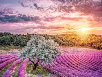 Lavender field. - Landscape puzzle.
