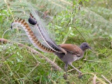 lirogony - Australijskie naśladujące ptaki