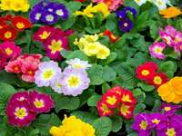 primroses - Flori frumoase care vestesc primăvara