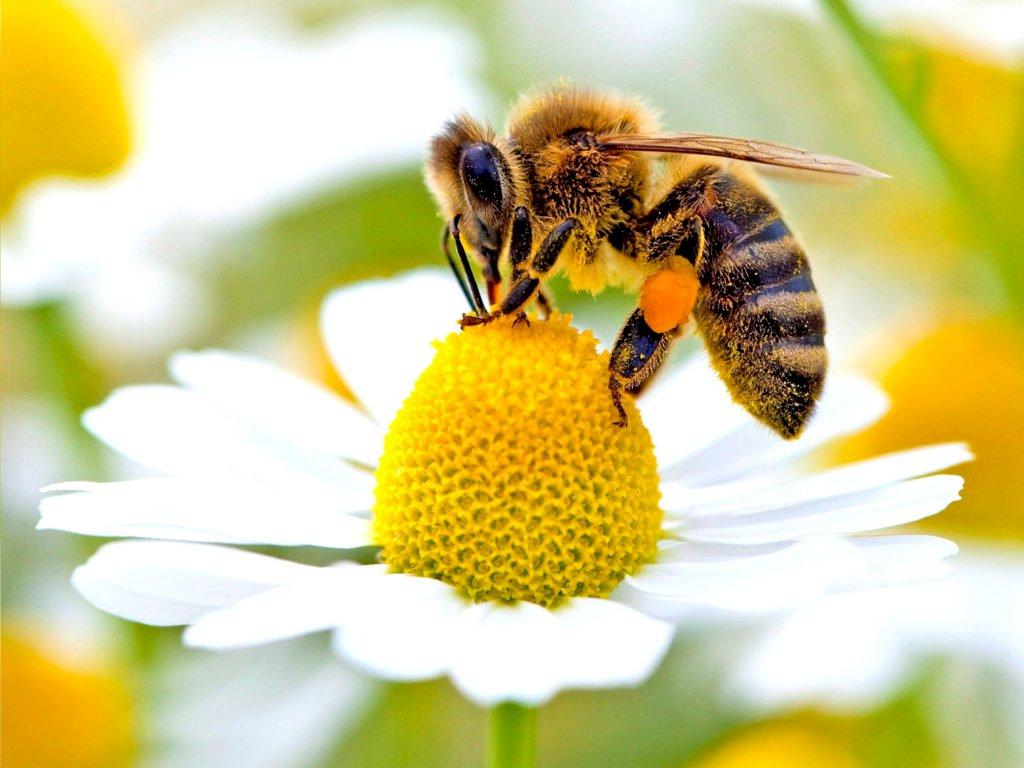 Пчела работник