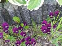 viooltjes bloemen en beton.