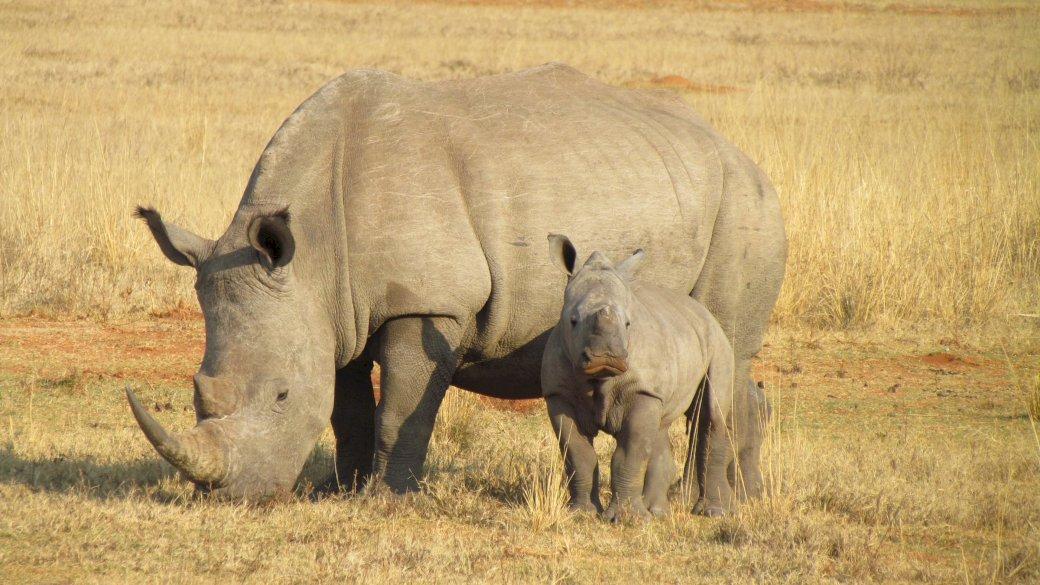 rinocer cu copii)