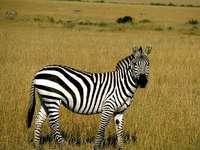 Puzzle dla dzieci Zebra
