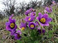 Sasanka is een prachtig teken van lente