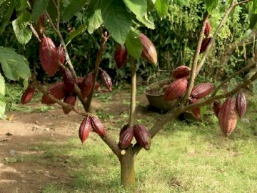 Drzewo kakaowca - Drzewo kakaowca z dojrzałymi owocami