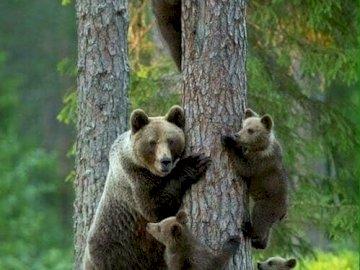 Bieszczady - bieszczadzkie niedźwiadki