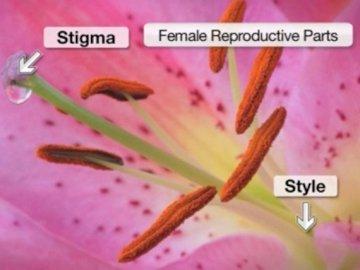 Male_Flower - Male Flower Anatomy