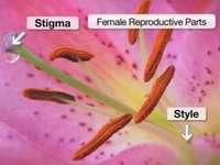 Male_Flower - Anatomia del fiore maschile