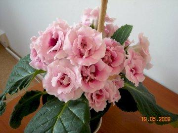 beautiful gloxinia - I grew up such gloxinia in 2009