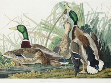 International Bird Day - Today is International Bird Day, wild ducks by the water