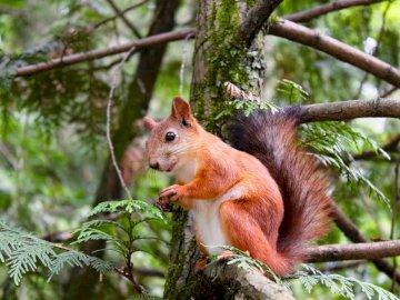 Écureuil sur l'arbre - Bel animal rouge, animaux