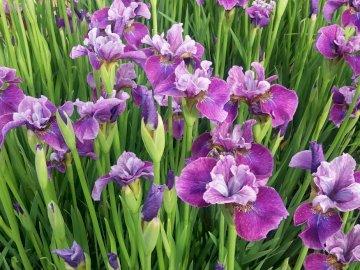 wiosenne irysy - wiosenne fioletowe irysy