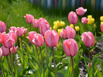 tulips - The picture shows tulips, contains 5 columns and 5 rows.