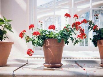 Géraniums rouges - Fleurs pétales rouges en pot marron. Royaume-Uni