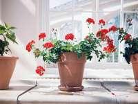 Géraniums rouges