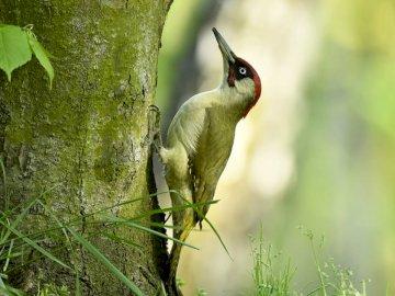 GREEN WOODPECKER - Composez une image d'un pic vert. Ce bel oiseau se trouve en Pologne, même autour de notre jar