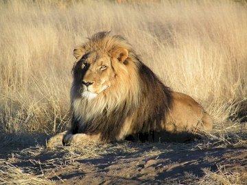 zwierzęta - Mówi się, że jest królem zwierząt
