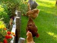 Des poules - Des poules en liberté au milieu de jolies fleurs