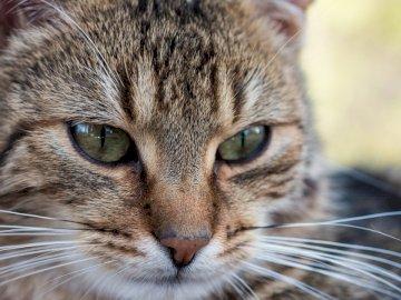 Le chat, les animaux - Gros plan photo de chat. Pologne