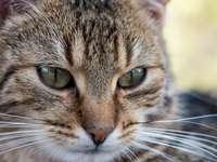 Pisica, animale